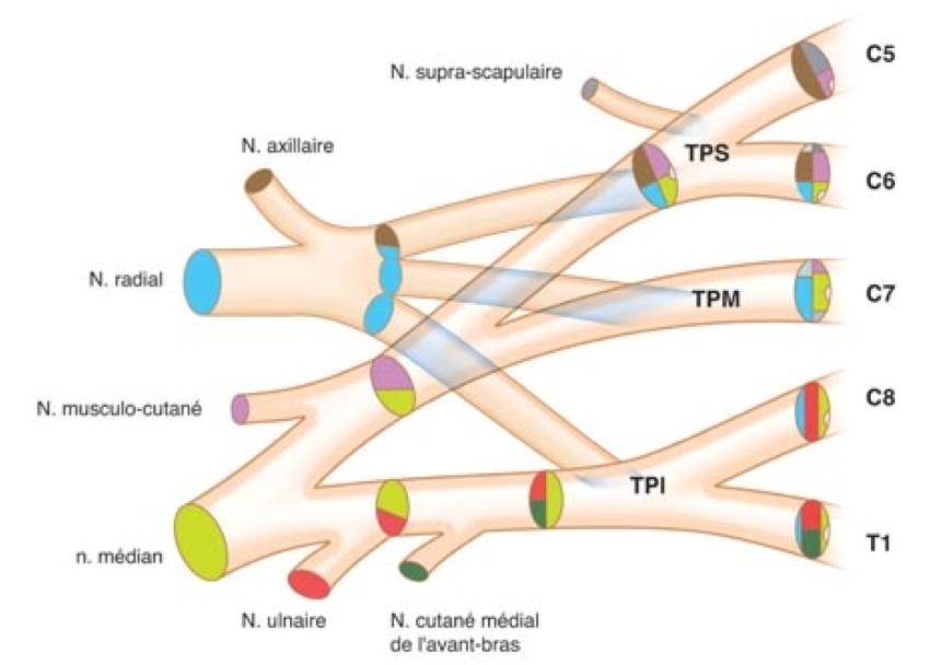Traumatisme du Plexus Brachial - Anatomie du Plexus Brachial